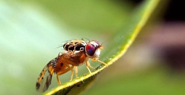 mosca-transgenica-EPLAGAS-644x330